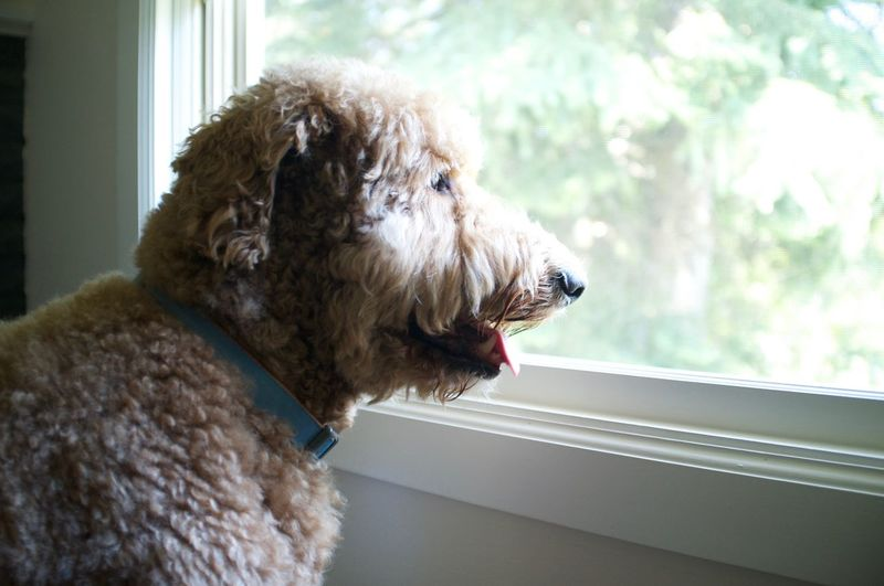 Close-up of goldendoodle looking through glass window at home