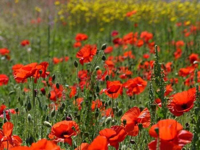 Red poppy flowers blooming in field