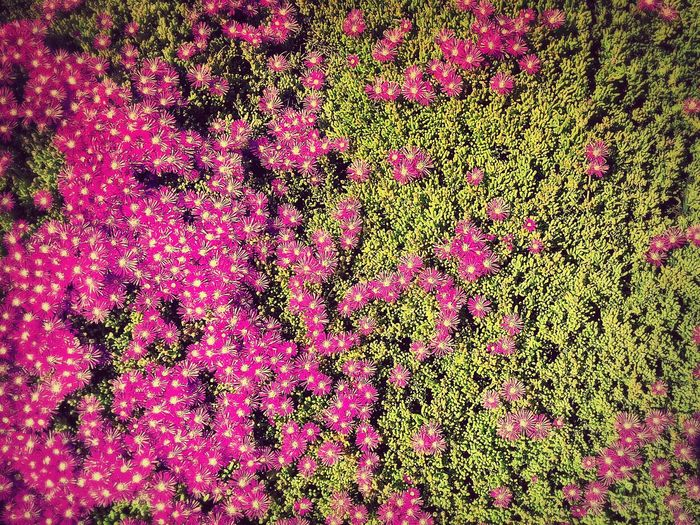 ICE PLANT Flowers Groundcover Bright Straight On Pattern Texture Fuschia Green