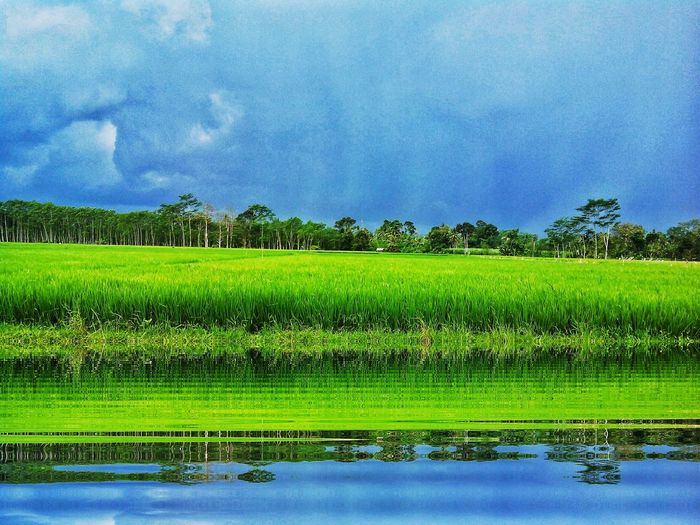 Paddy Field Cloudy Water Reflections After The Rain