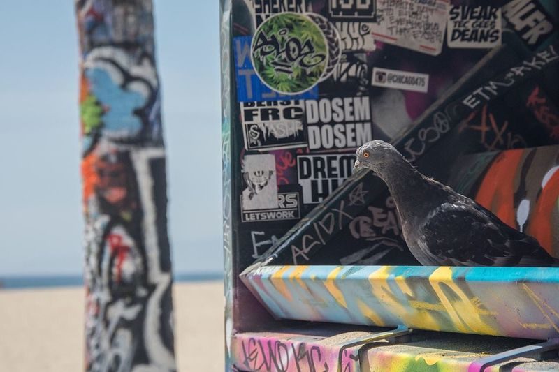 Ghetto Pigeon California Pigeon Beach Venice Beach Graffiti