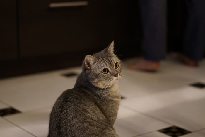 Animal Themes British Shorthair Close-up Day Domestic Animals Domestic Cat Feline Indoors  Kids Mammal No People One Animal Pets Tabby Cat