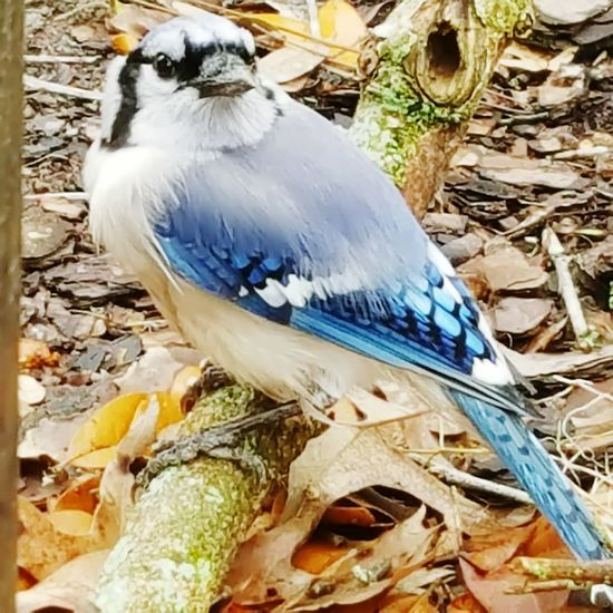 Here Belongs To Me Nature On My Doorstep Baby Blue Jay. Bird Photography Bird Watching Left The Nest But Can't Fly Cant Protect Itself Scared Baby Bird Cant Fly Waiting For Mum The Beginning Of A New Life Springtime Time For New Beginnings Open Edit The Week On EyeEm