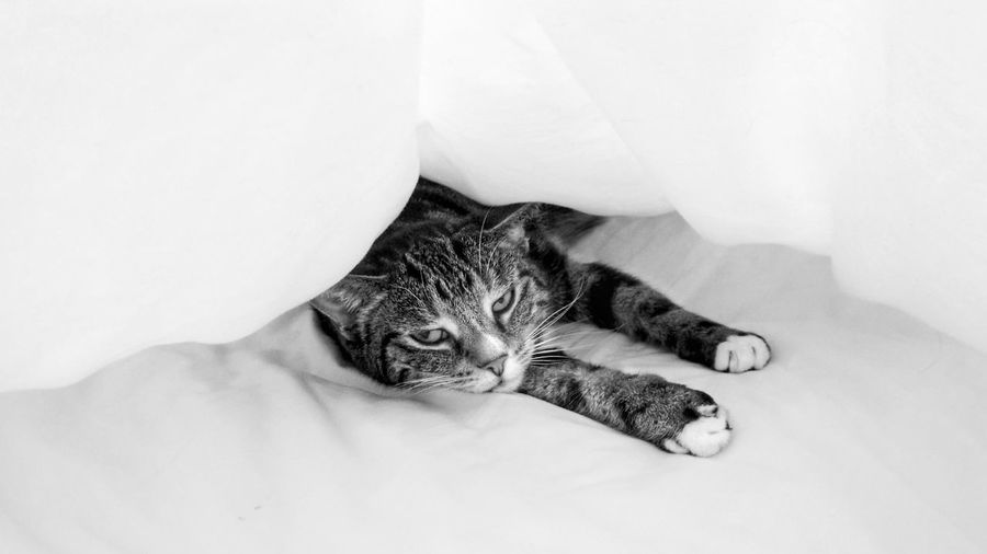 Annoyed Grumpy Blackandwhite B&w Monotone Catinbed Bed Sleeping Duvet EyeEm Selects Pets Domestic Cat Feline Lying Down Portrait Close-up Animal Body Part Whisker Cat