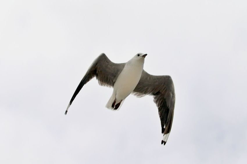 Bird Animal Themes Animals In The Wild Animal Wildlife Animal Flying One Animal Spread Wings Mid-air No People Clear Sky Outdoors Seagull Low Angle View Sky Motion
