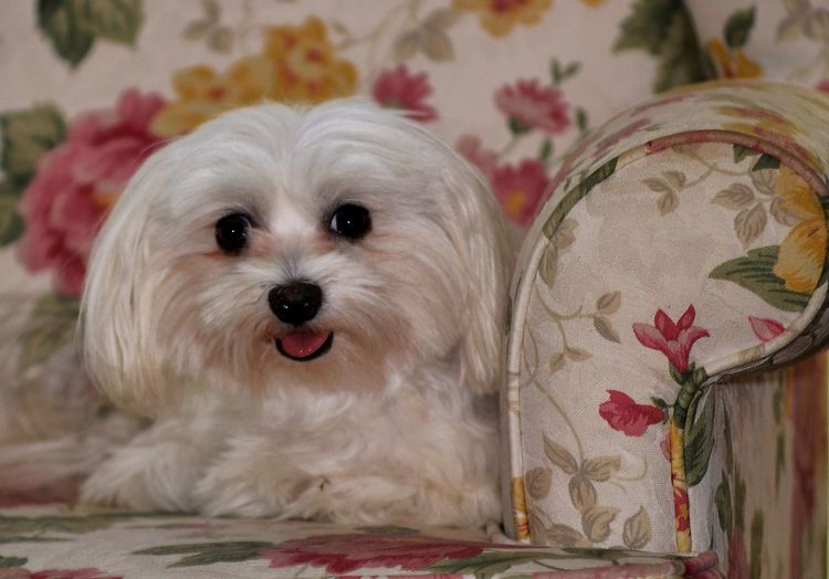 Portrait of maltese sitting on floral sofa at home