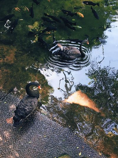 Birds Black Swan Water Animals In The Wild Nature Animal Themes Outdoors Fish No People High Angle View Day Swimming Leaf Animal Wildlife Photography Enjoyinglife  Hello World Life From My Point Of View