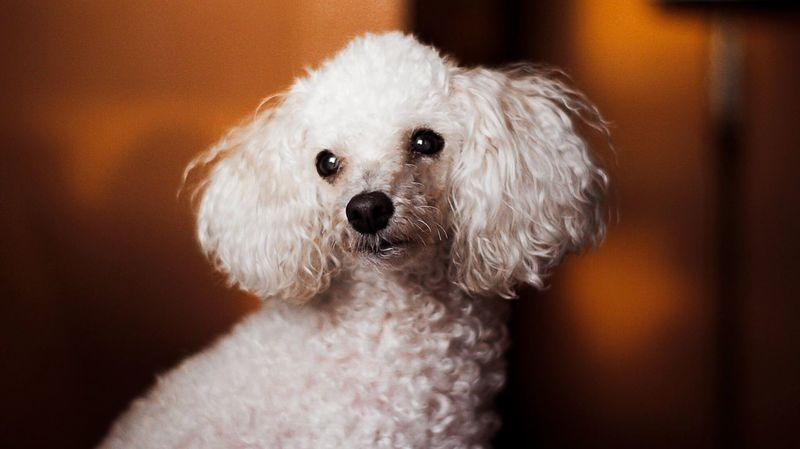 Frenchpoodle Pet Dog Domestic Animals Close-up Indoors  Portrait Pet Portraits Pet Portraits Pet Portraits Pet Portraits