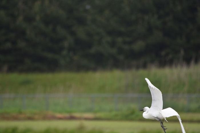 白鷺発つ水田 Dewa State Fly Fly Away Rice Paddy SAKATA YAMAGATA Bird Flying Flying Bird Flying Heron Heron One Bird Runaway White Heron 庄内 庄内米 酒田