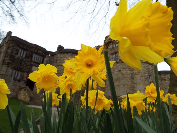 Daffodils Yellow Yellow Flowers Flowers Castle Entrance Entrance Main Entrance Skipton Castle Castle Medieval Castle Medieval