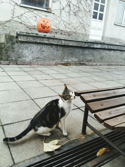 Cat Not Mine Neighbour Wants Food 🍝🍟🍝🍕 Wants To Feed Fall Autumn Outside Yard Leaves Bench Halloween Pumpkin Cold Baby It's Cold Outside Winter Is Coming Christmas Is Coming Tranquility Home Have To Go Study November Village Czech Republic