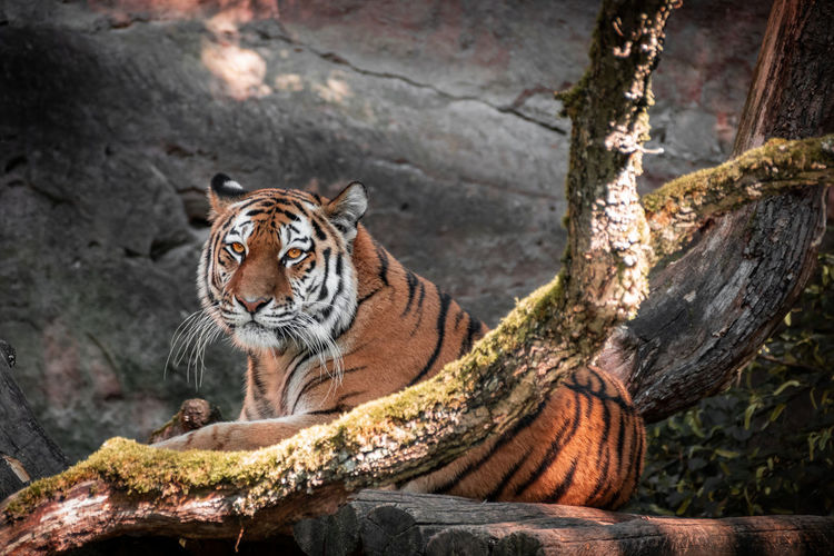 Tiger relaxing in a zoo