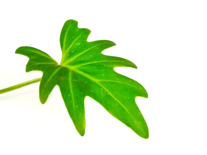White Background Mint Leaf - Culinary Herbal Medicine Leaf Herb Healthcare And Medicine Close-up Green Color Plant Stamen Chinese Herbal Medicine Tea Crop Petal Blooming Flower Head Leaf Vein Cannabis Plant In Bloom Homeopathic Medicine Tea Leaves Plantation Cosmos Flower Cannabis - Narcotic Hibiscus Dahlia Single Flower