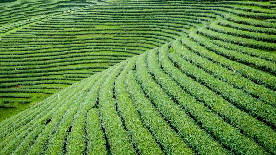 Full frame shot of green tea agricultural