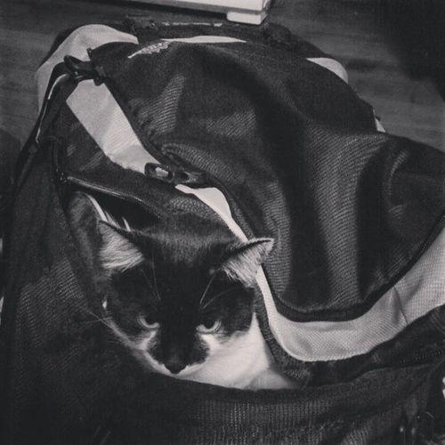 Helmetmet Cat HomeAlone Catinabag catsofinstagram meow blackandwhite neko