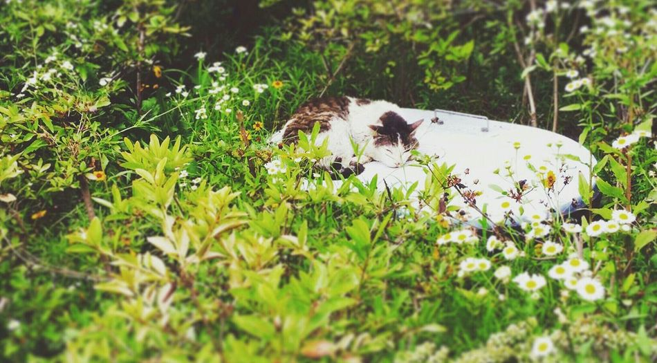 Korean Shorthair Cats Cat