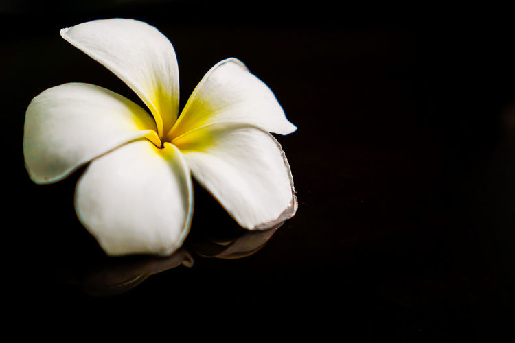 Fragility Vulnerability  Beauty In Nature Flowering Plant Flower Petal Freshness Inflorescence Flower Head Close-up Studio Shot Plant White Color Black Background Copy Space Indoors  Frangipani No People Nature