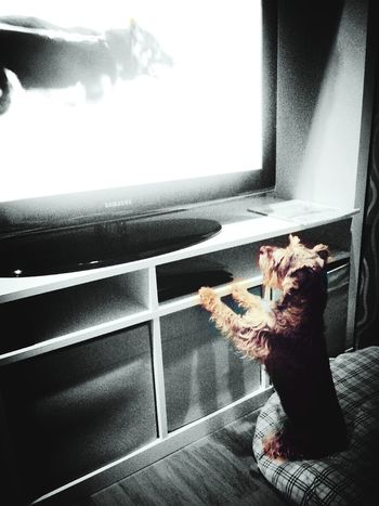 ChaoGuay is watching his idol on TV. Dog Days My Dog Is Cooler Than Your Kid. Dog Cute Pets Dogslife Casa Presto