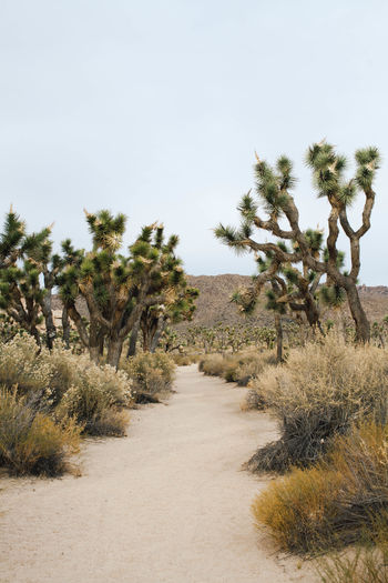 Desert Joshua Tree National Park Arid Climate Beauty In Nature Clear Sky Day Growth Joshua Tree Landscape Nature No People Outdoors Palm Tree Plant Scenics Sky The Way Forward Tranquil Scene Tranquility Tree