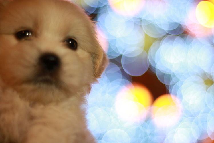 Close-up Puppy