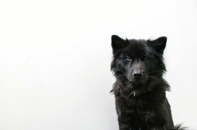 serious Lexi...One Animal Animal Themes Pets White Background No People Eurasier Serious Dog Domestic Animals Looking Black Dog One Animal Animal Themes Pets Domestic Animals Close-up Animal Head  Mammal White Background No People Looking Portait Of A Dog Pet Portraits