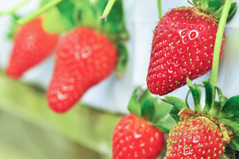 Close-up of strawberries growing outdoors