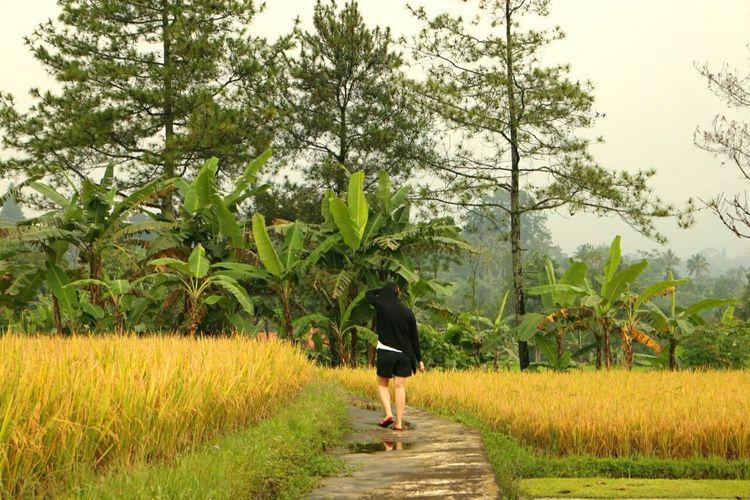 Rice Field Ricepaddies Field Morning Walk Walking Harvest Harvest Time