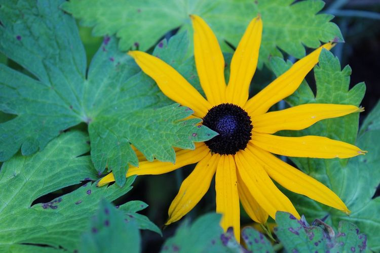 Close-up of yellow black-eyed susan blooming outdoors