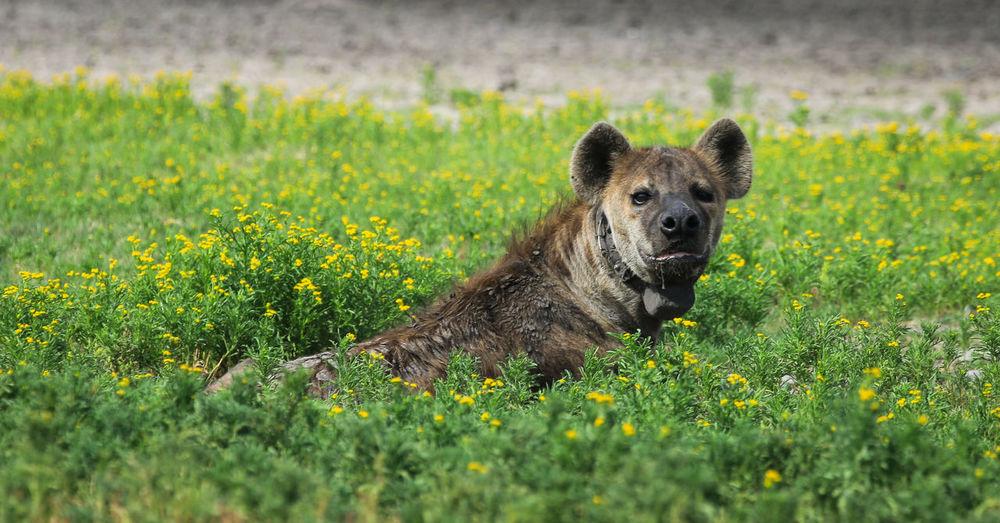 Portrait of hyena sitting on field