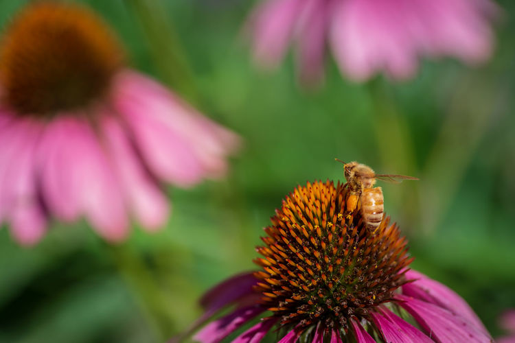 Honey bee pollinating on pink flower