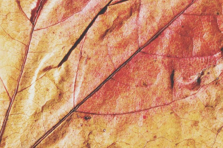 Backgrounds Full Frame Leaf Close-up Pattern Textured  Autumn Beauty In Nature Outdoors Leaf 🍂 Leafmania Leafporn Leafphotography Autumn🍁🍁🍁 Autumn Colors Leaf Autumn