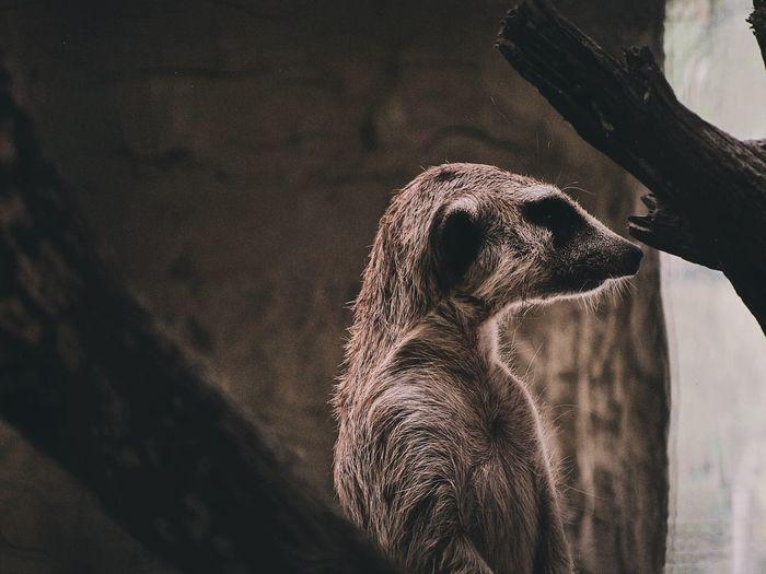 Close-up of a meerkat