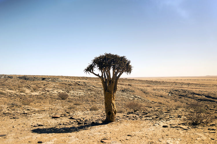 a tree in the desert Landscape Environment Plant Desert Land Sky Clear Sky Tranquility Scenics - Nature Tree Nature No People Non-urban Scene Field Day Tranquil Scene Beauty In Nature Climate Single Tree Arid Climate Outdoors Semi-arid