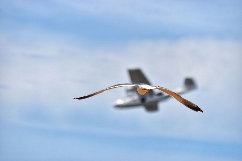 Bird and Plane Sky Nature One Animal Blue Low Angle View Mid-air Flying Spread Wings