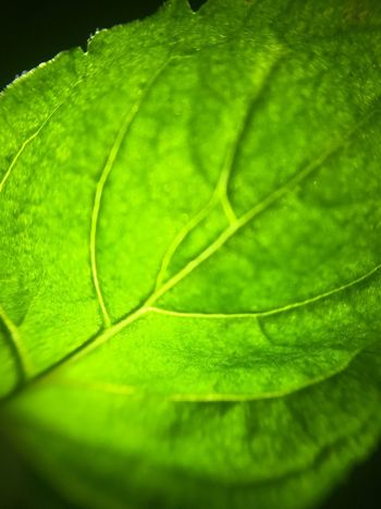 Green leaf Leaf Green Color Close-up Nature No People Day Backgrounds Beauty In Nature Outdoors Growth Freshness