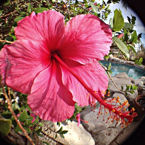 One of the beautiful Hibiscus flowers i have in the backyard
