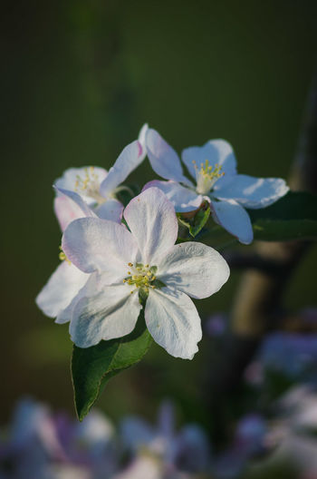 Flower Flower Head Petal Nature Beauty In Nature Close-up Plant No People Springtime Outdoors Freshness Apple Blossom Apple Flower