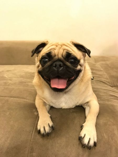 Pets Domestic Animals Animal Themes Dog Mammal One Animal Looking At Camera Sticking Out Tongue Animal Tongue Mouth Open Portrait No People Close-up Pug Indoors  Day Pet Portraits