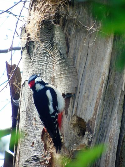 Beauty In Nature Day Focus On Foreground I`m Happy Nature No People Outdoors Selective Focus Wood - Material Woodpecker Woodpecker In Tree Woodpeckerholes ´my Great Shnapshot