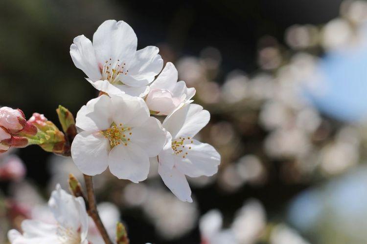 Japan 日本 桜 サクラ Pink Natural 自然 綺麗 Beautiful Flower Cute Flower Head Flower Tree Branch Springtime Petal Blossom White Color Plum Blossom Close-up