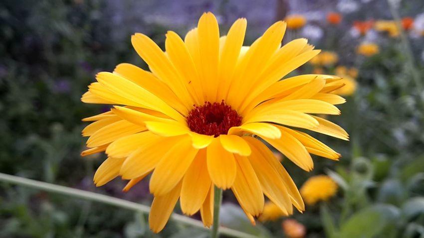 цветок  желтый лепестки оранжевый First Eyeem Photo