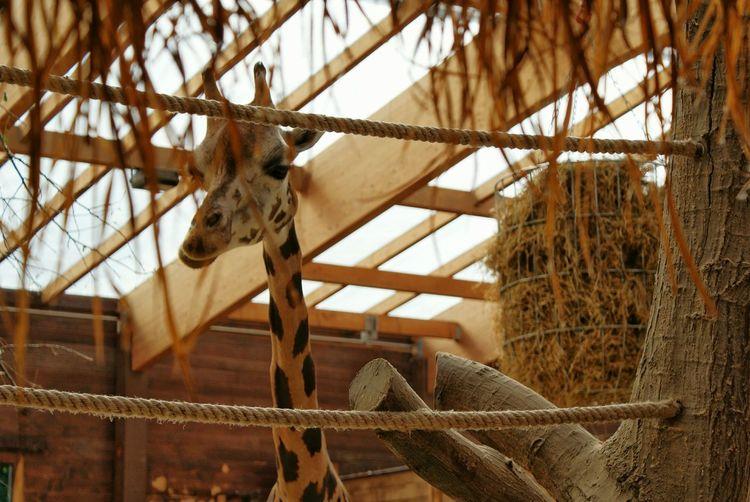 Zoo Leipzig GERMANY🇩🇪DEUTSCHERLAND@ Germany Germany🇩🇪 Nature Giraffe Color Photography Colorphotography зоопарк лейпциг жираф
