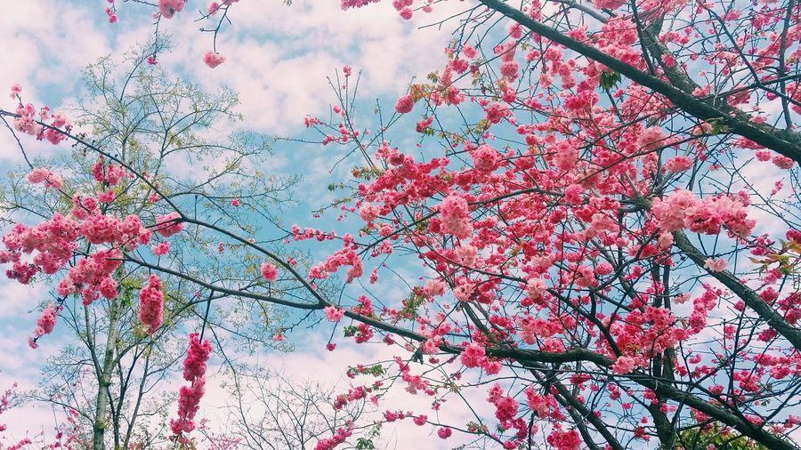 云南大学呈贡校区的樱花←_←