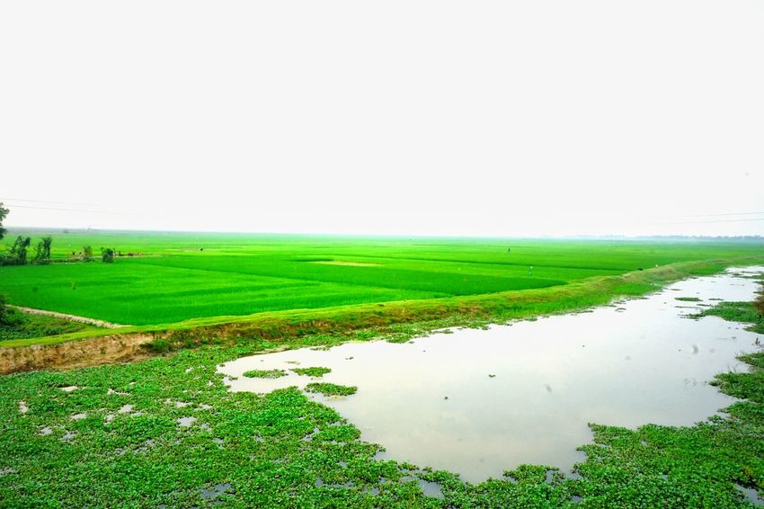 A small part of Hakaluki Haor, one of the largest Marsh Wetland Resources in Bangladesh & Asia. A total of 558 species of fishes & birds are identified here, including some are very rare & declared as threatened, vulnerable or endangered. Ecologically Critical Area Ramsar Site Wetland Wetland Landscape Greenery Green Fields Negetive Space Sublime Living Protecting Where We Play Q Pattern Pieces Vastness Green Nature Exceptional Photographs Still Beautiful  AMPt - LOVE NEM Still Life Green Planet Don't Take The World For Granted Tenderness Growing Up Pastel Colors Nature On Your Doorstep