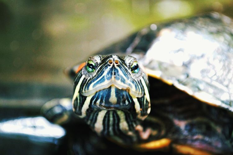 Close-up portrait of red-eared slider