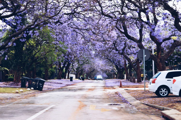 Finding New Frontiers Tree Nature Beauty In Nature Pretoria Purple Rain Purple Trees Jacaranda Trees Outdoors In Love Paradise Traveling Home For The Holidays Miles Away The Great Outdoors - 2017 EyeEm Awards Sommergefühle