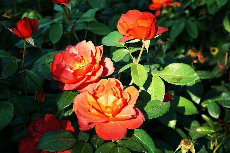 rose Roses🌹