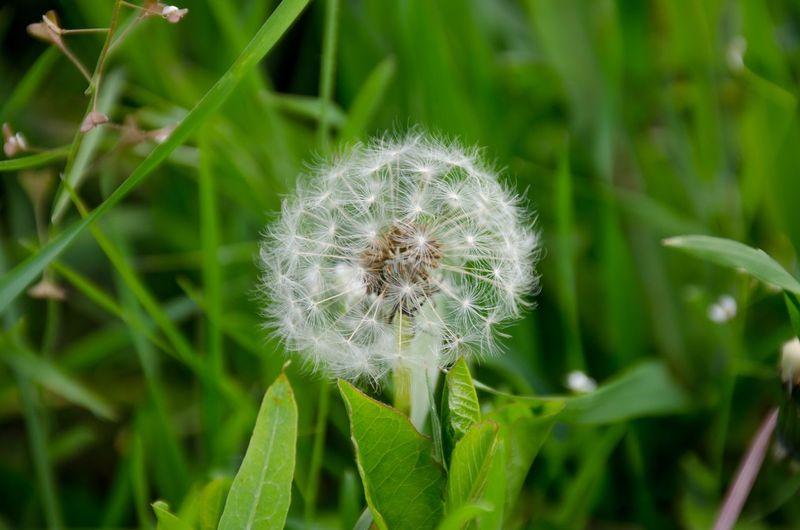 одуванчик цветок  зелень First Eyeem Photo