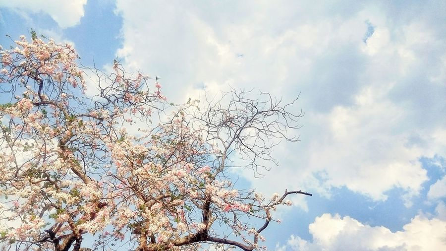 Wild Himalayan Cherry Trees Flowers, Nature And Beauty Sky Nature Cloud - Sky Beauty In Nature Outdoors Day Tree Sunlight Filters & Effects Pink Flower 🌸 White Flowers Bluesky 🌈🌈🌈