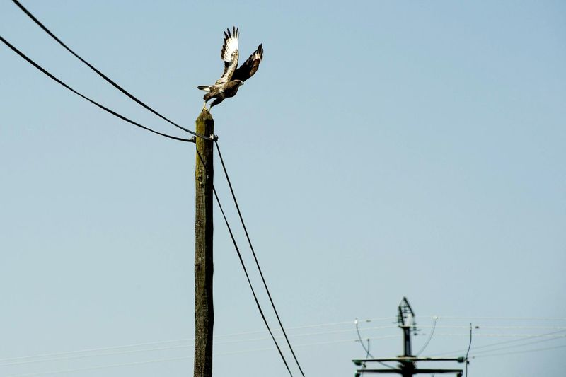 buzzard Buzzard  Nikon Animals Animal Themes Nikonphotography Lifestyles Nikonphotographer Animals In The Wild Animal Wildlife Electricity Pylon Technology Bird Clear Sky Electricity  Cable Fuel And Power Generation Silhouette Power Supply Business Finance And Industry Power Line  Power Cable